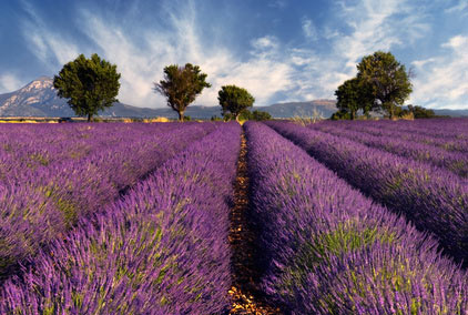 Metaphysical Farms Lavender Field